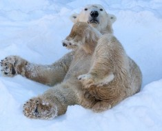 polarni-medvjedi-658x411