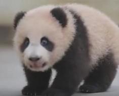 beba-panda